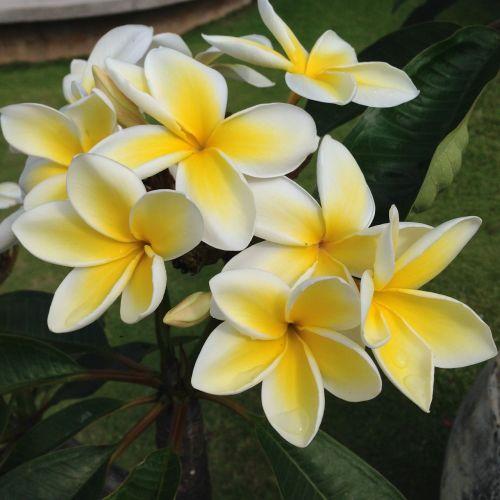plumeria frangipani hawaii kauai christopher flowers