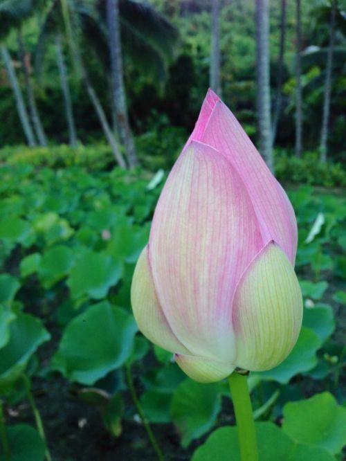 lotus hawaii kauai christopher flowers